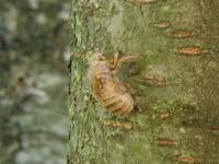08 Cicada